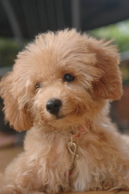Female Toy Poodle Puppy Sale Melbourne Dogs For Sale