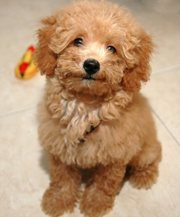 female toy poodle puppy  sale .