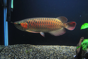 Buy Quality Arowana Fishes of Different Types and Sizes at Affordable