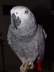 Congo african grey parrot with talking attitude already well trained