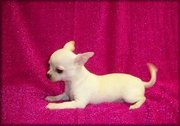 Adorable hihuahua puppies available