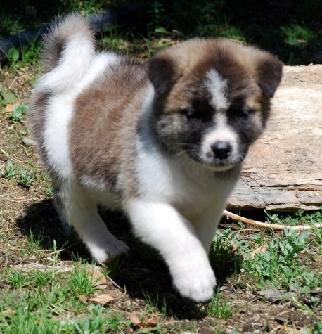 Akita Puppies Dogs For Sale