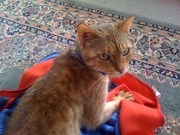 FREE BENGAL cat - female 3y.o.