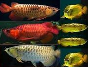 Best Quality Arowana Fishes For Supply