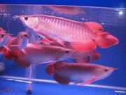 Healthy Asian Red, Super Red, Chili Red, RTG arowanas and others for Sale