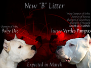 Dogo argentino champion sired puppies for sale