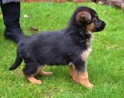 Strong Healthy German Shepherd Puppies for sale