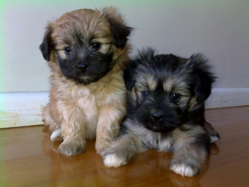Maltese x Papillon Puppies - Melbourne - Dogs for sale
