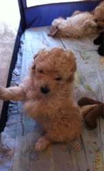 PureBred toy poodle puppies -cheapest price!.