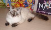 Adorable SIB (Neva Masquerade) male-kitten