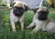 Pug puppies just in time for christmas