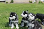 Siberian Husky Puppies For Sale, .....