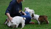 Englsih Bbulldog puppies for sale
