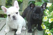 Black and whiite French  Bulldog Puppies