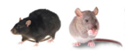 Commercial Pest and Rat Control Service in Melbourne