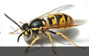 Dawson's Australia Provides Bee Removal and Commercial Pest Control