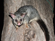 Is Pesky Possum in your Home? Hire Professionals to get rid of Possum!