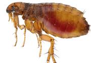 Professional Fleas Pest Control Service in Melbourne