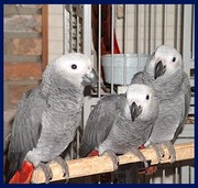 Tamed  And Weaned Congo Grey Parrots Searching A Forever Home