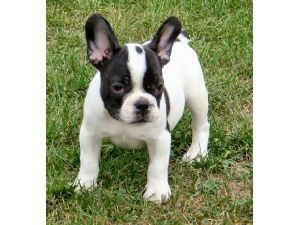 Pics Photos - French Bulldogs Australia For Sale Kentucky Basketball ...